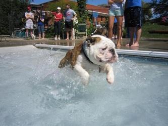 Bean Bulldogs Breeder Of Akc Champion Sired English Bulldog Puppies