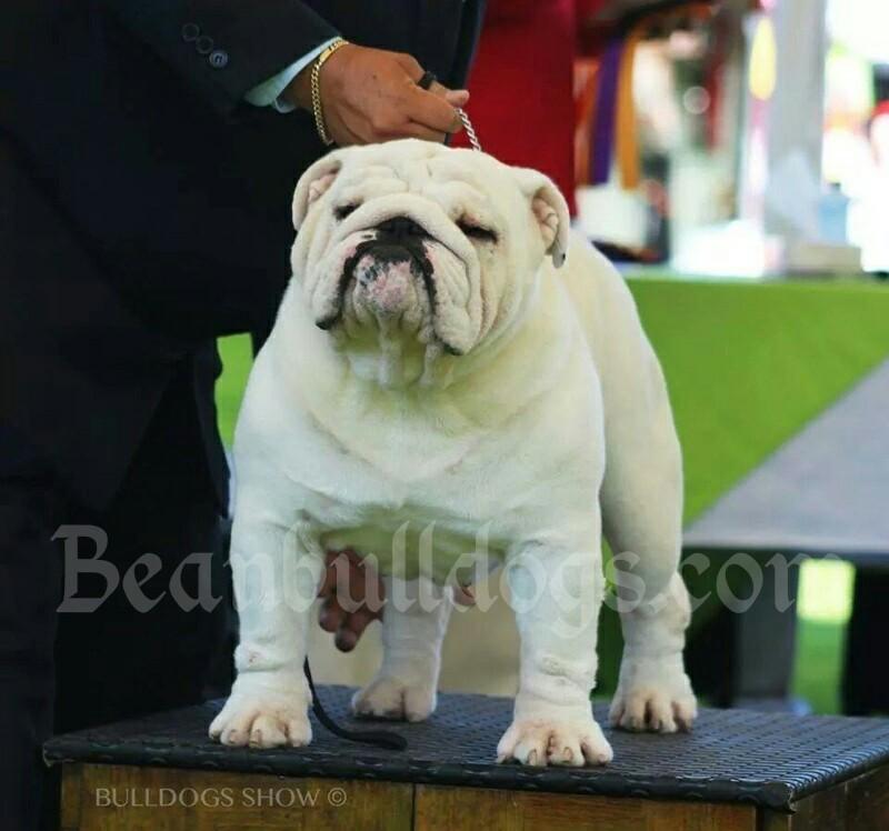 Bean Bulldogs - Breeder of AKC Champion Sired English
